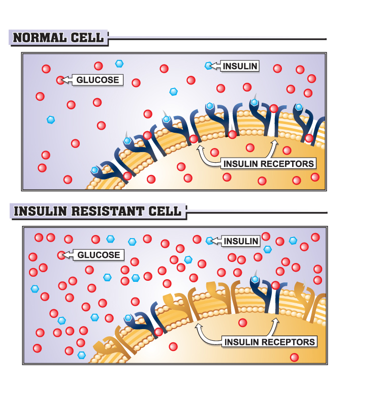 Insulin cell